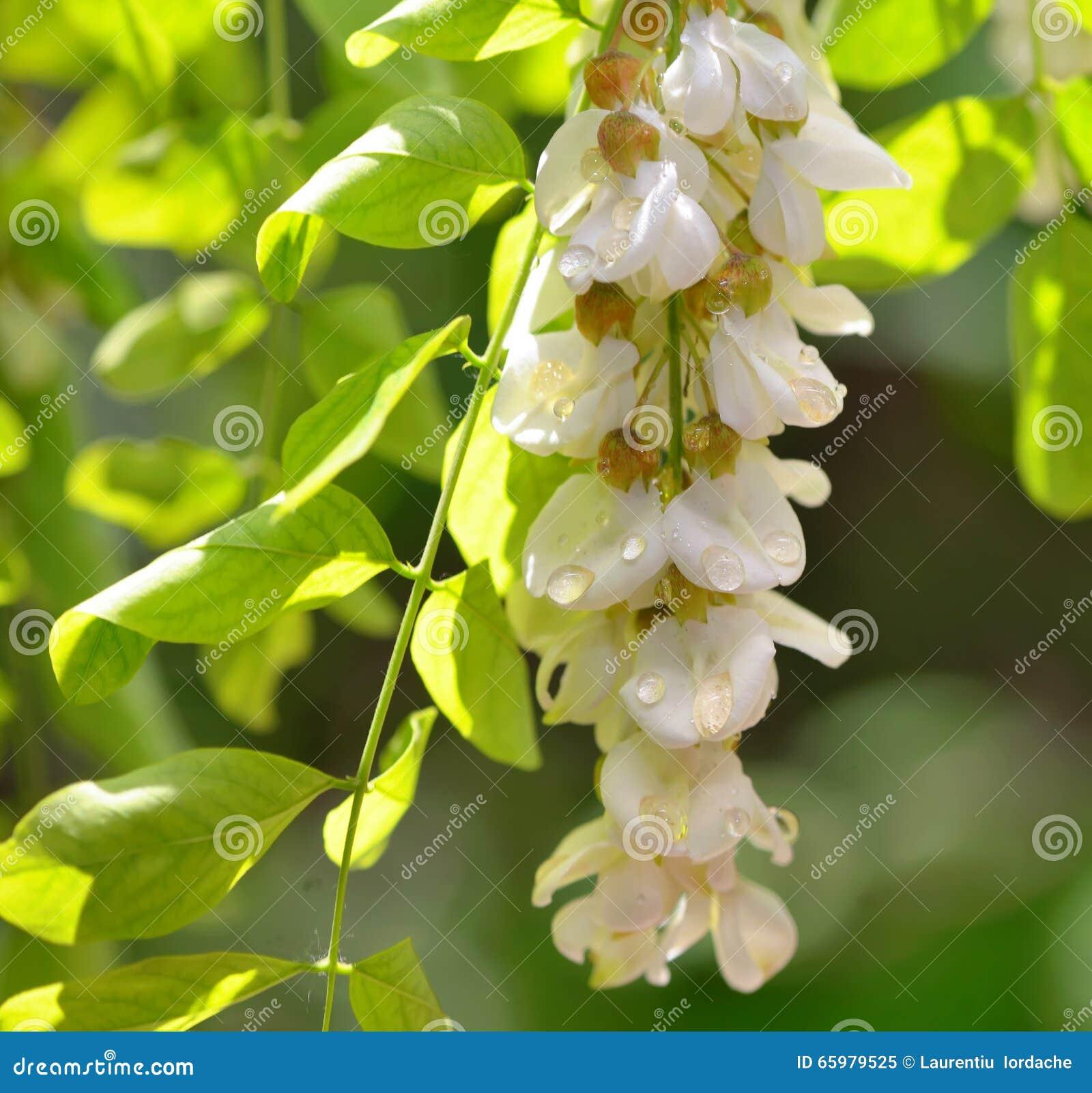 Πτώσεις μελιού με τα άνθη ακακιών