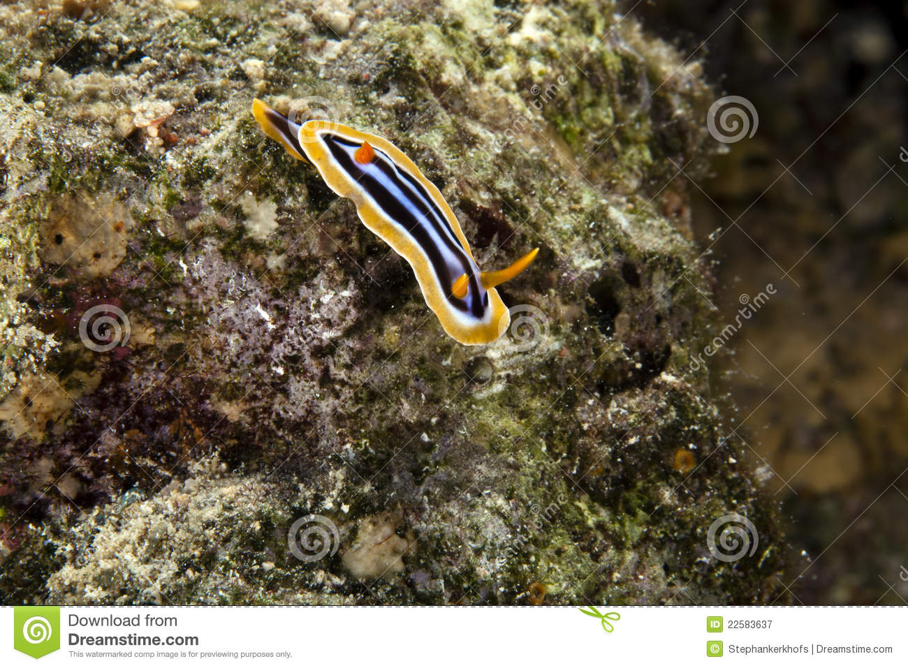 Πυτζάμα chromodorid (quadricolor chromodoris).