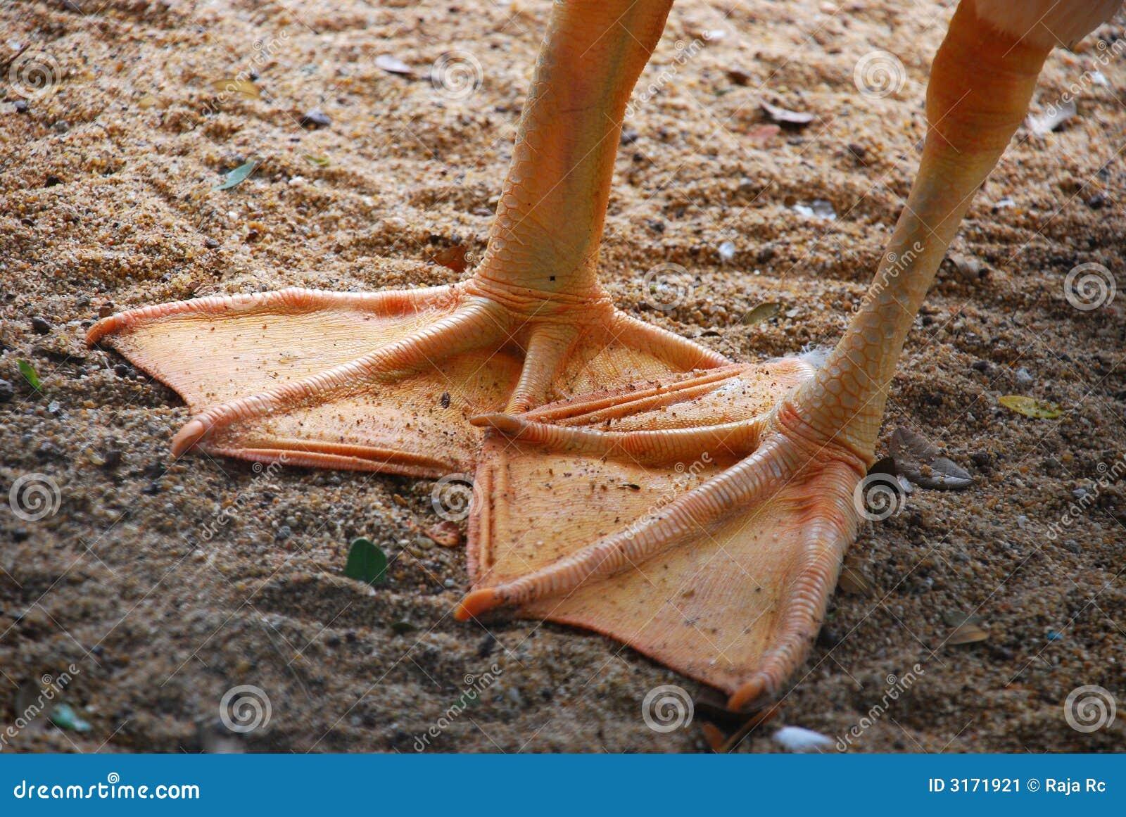 πόδι παπιών