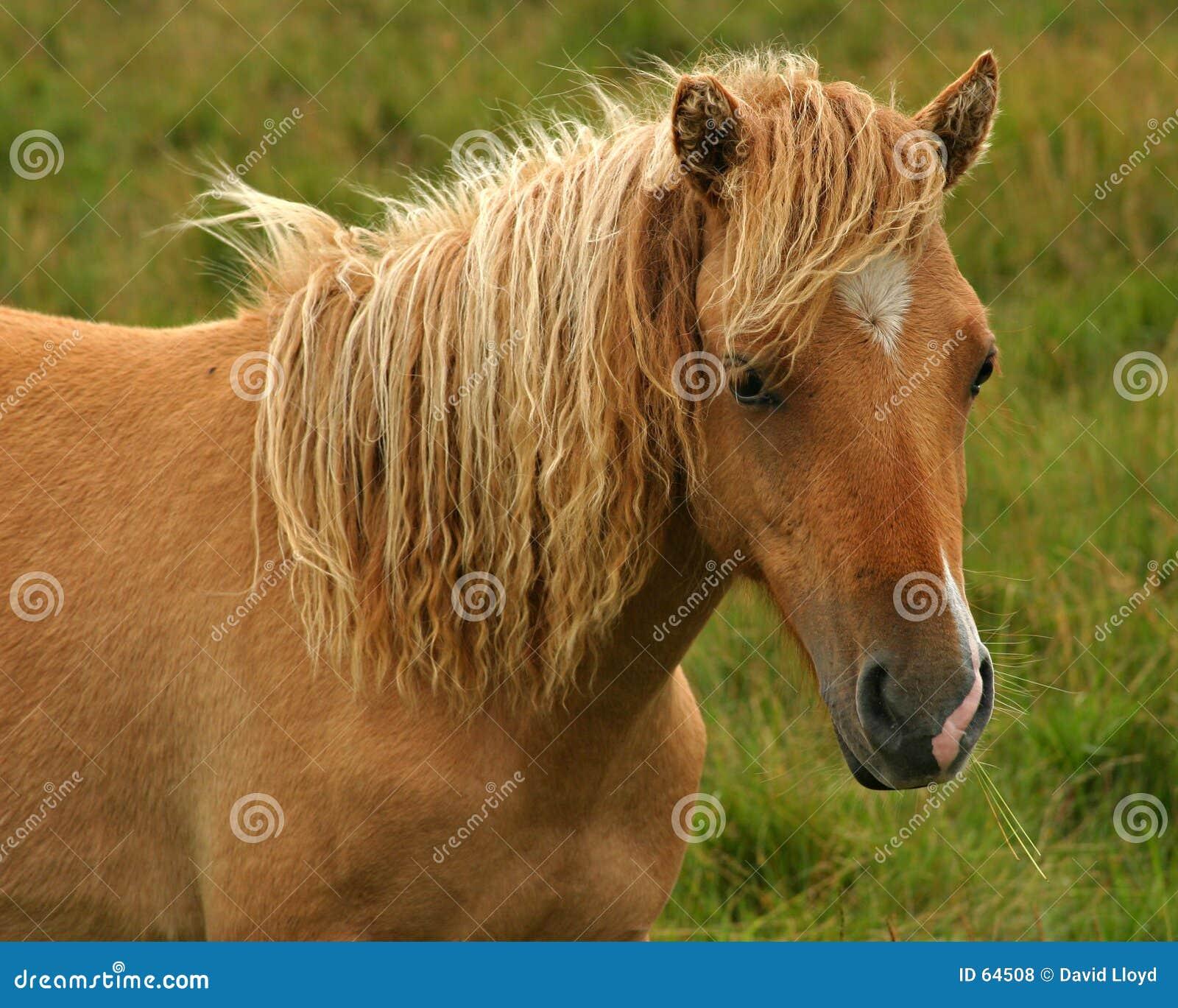 Download πόνι στοκ εικόνες. εικόνα από άλογο, φύση, μάιν, τρίχωμα - 64508