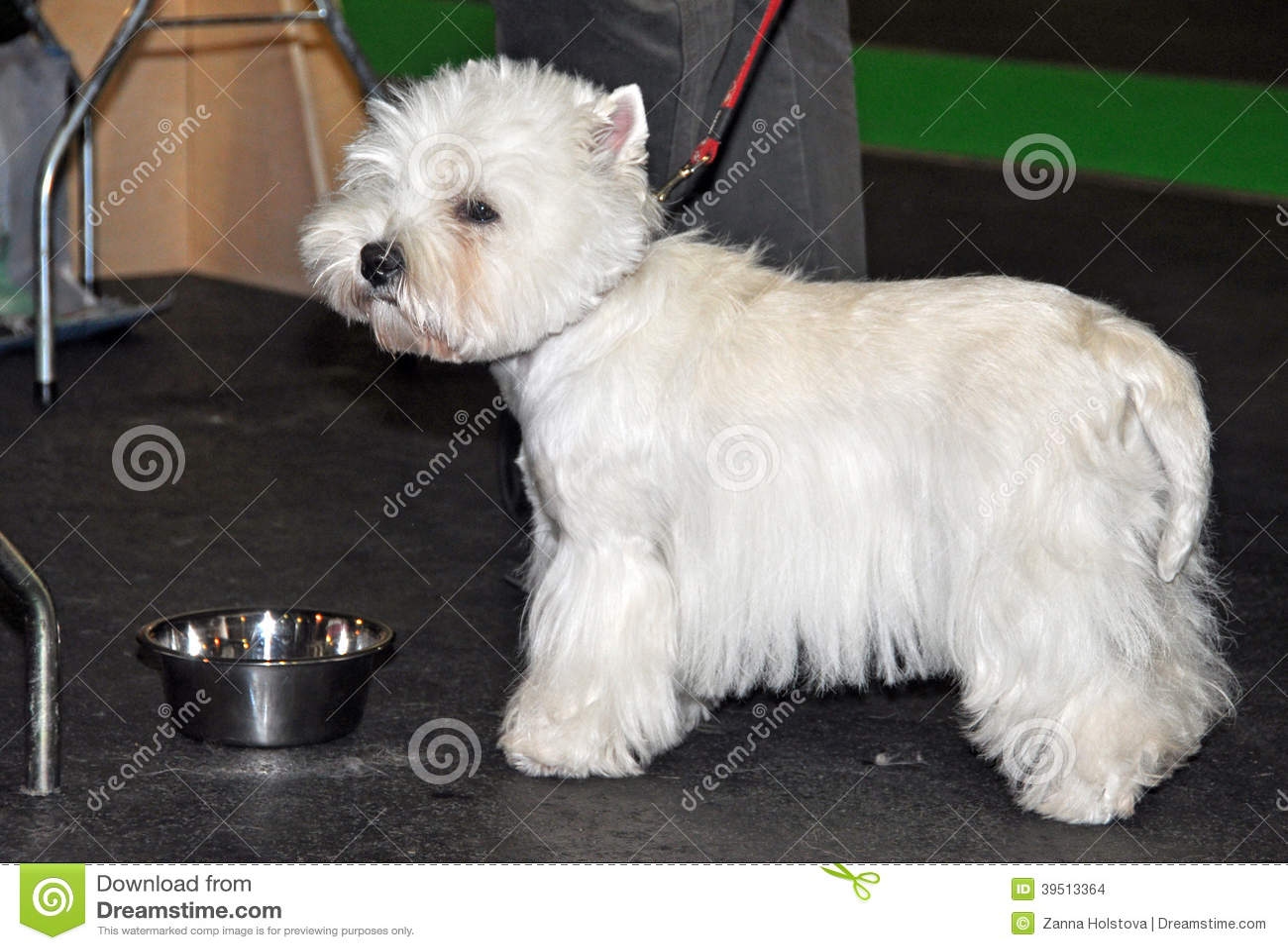 Πόσιμο νερό σκυλιών †‹â€ ‹Bichon Frise