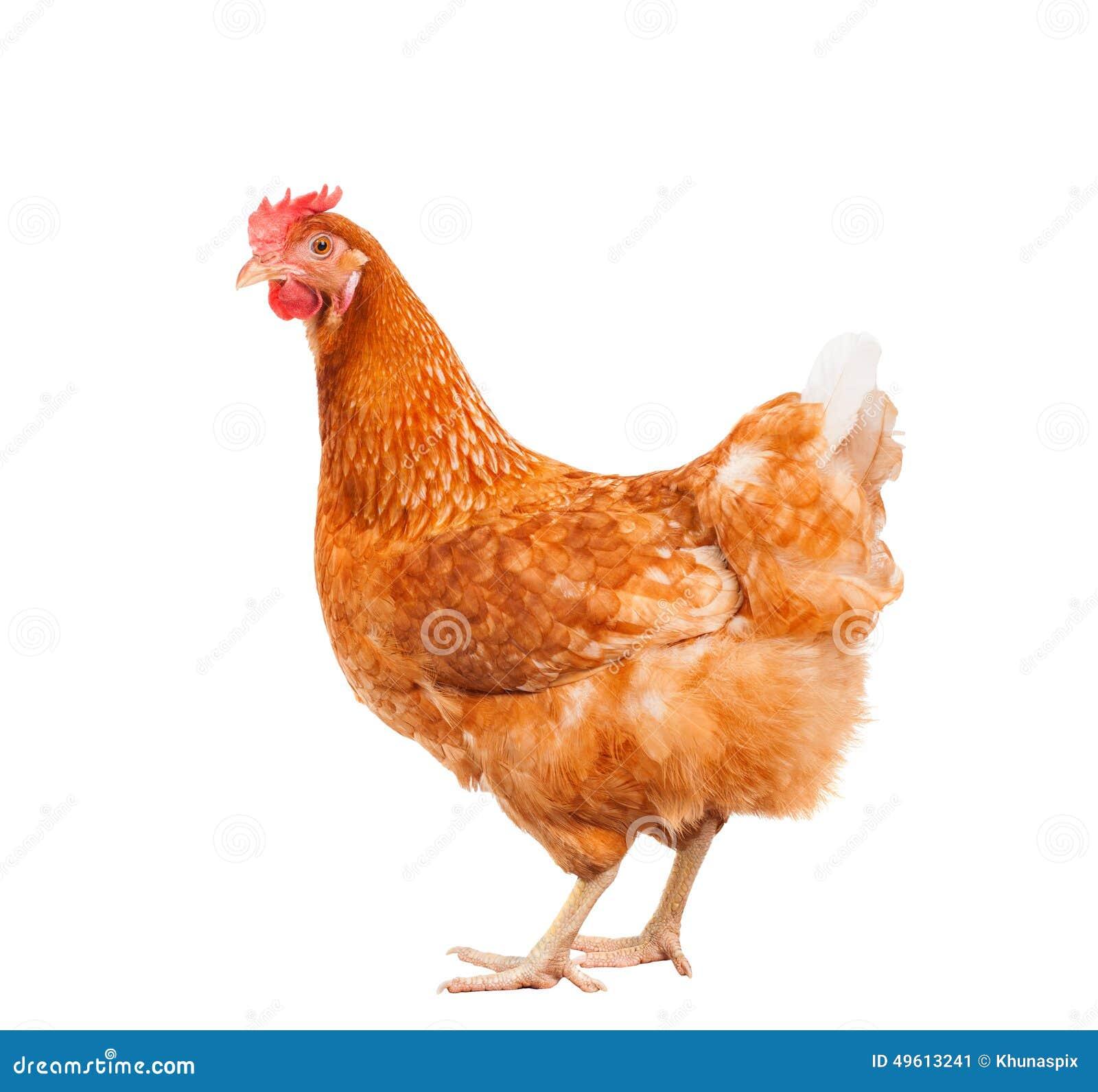 Πλήρες σώμα της καφετιάς κότας κοτόπουλου που στέκεται το απομονωμένο άσπρο backgroun