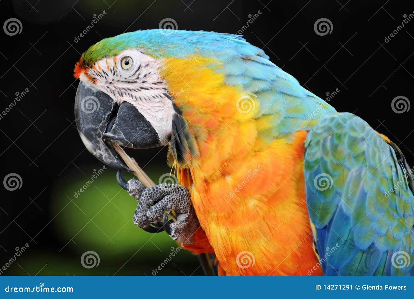 ράμφος που καθαρίζει macaw