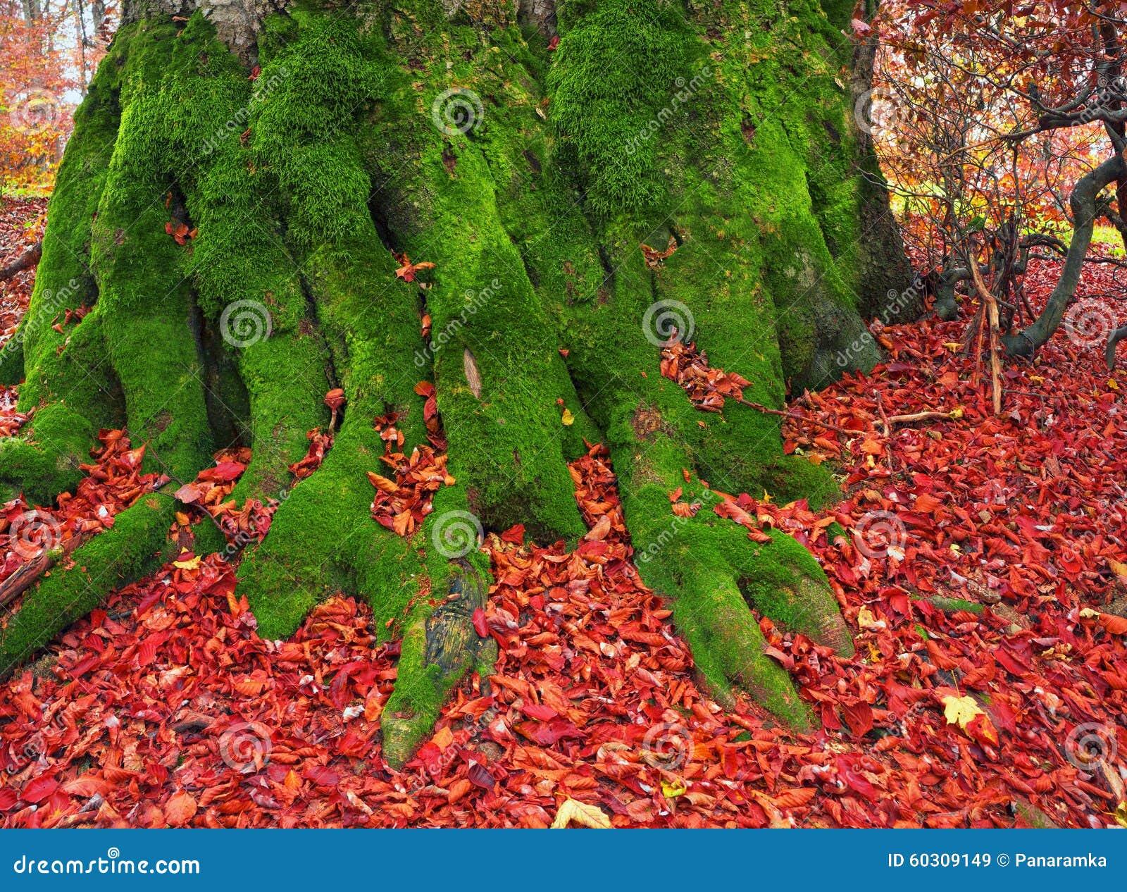 Ρίζες της οξιάς το φθινόπωρο