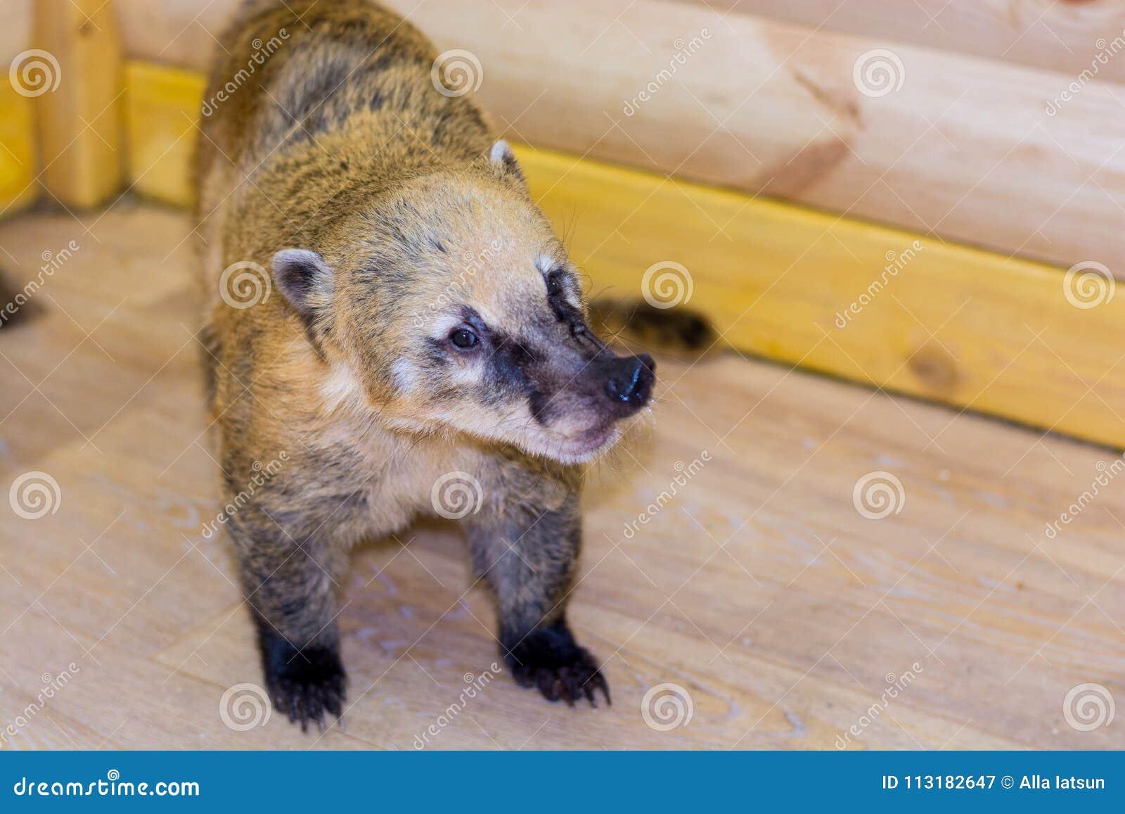 Ρακούν-μύτη ν ένας ζωολογικός κήπος