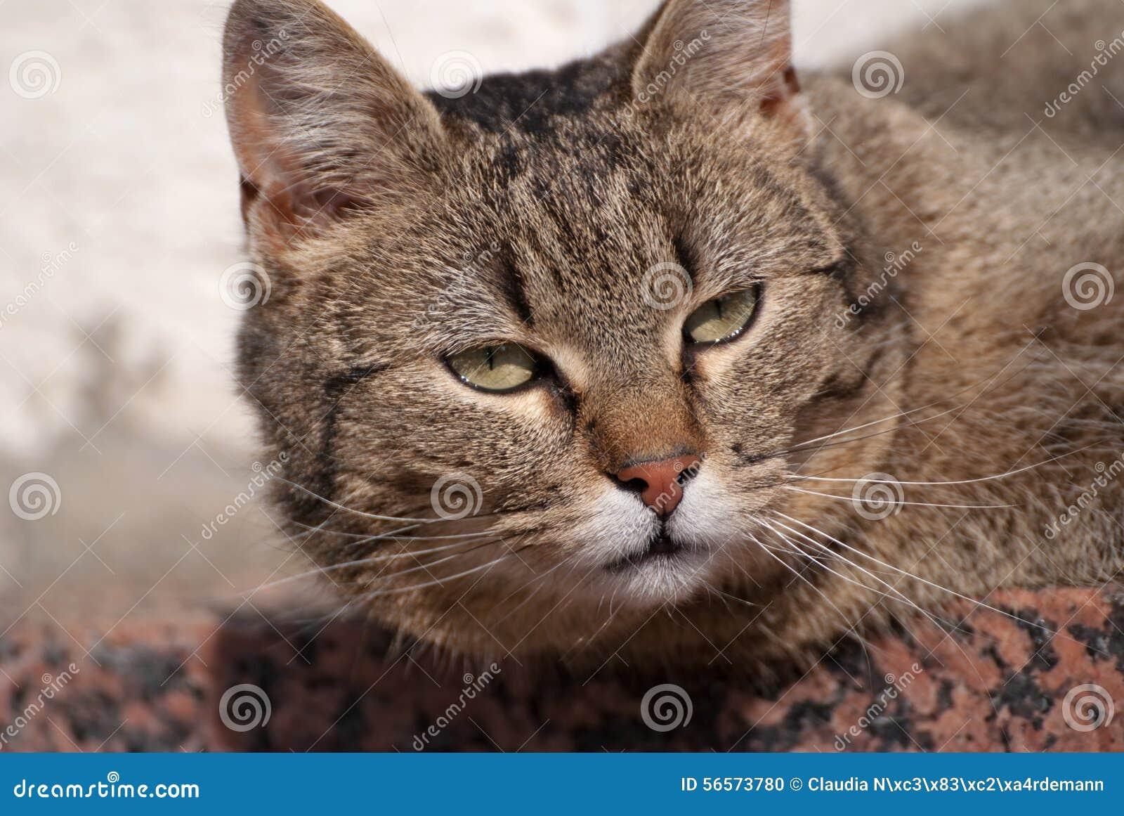 Download Ριγωτό tomcat στοκ εικόνες. εικόνα από θηλαστικό, τίγρη - 56573780