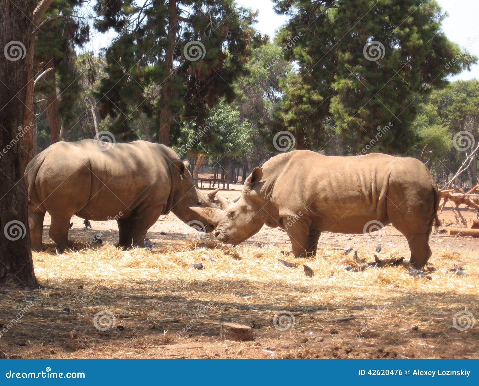 Ρινόκερος δύο στο ζωολογικό κήπο που αντιμετωπίζει ο ένας τον άλλον στο Ισραήλ