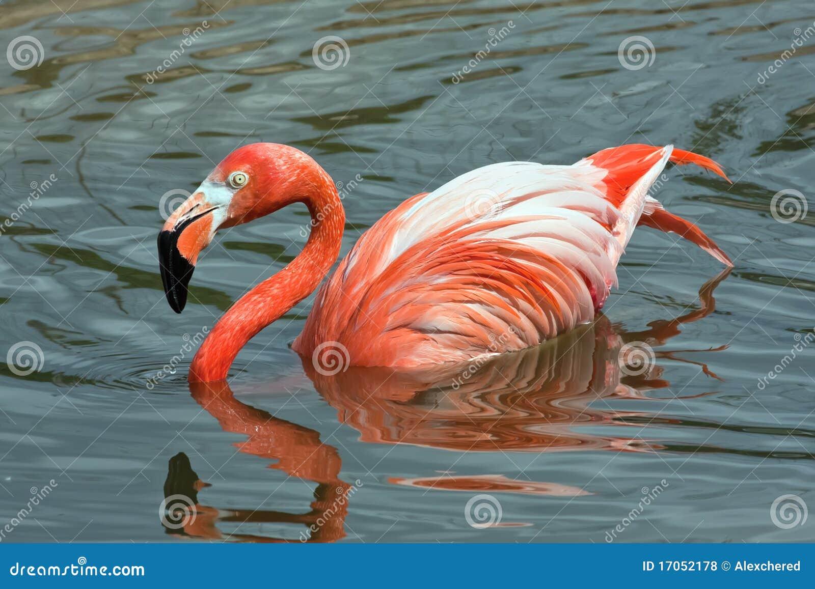 ροζ λιμνών φλαμίγκο