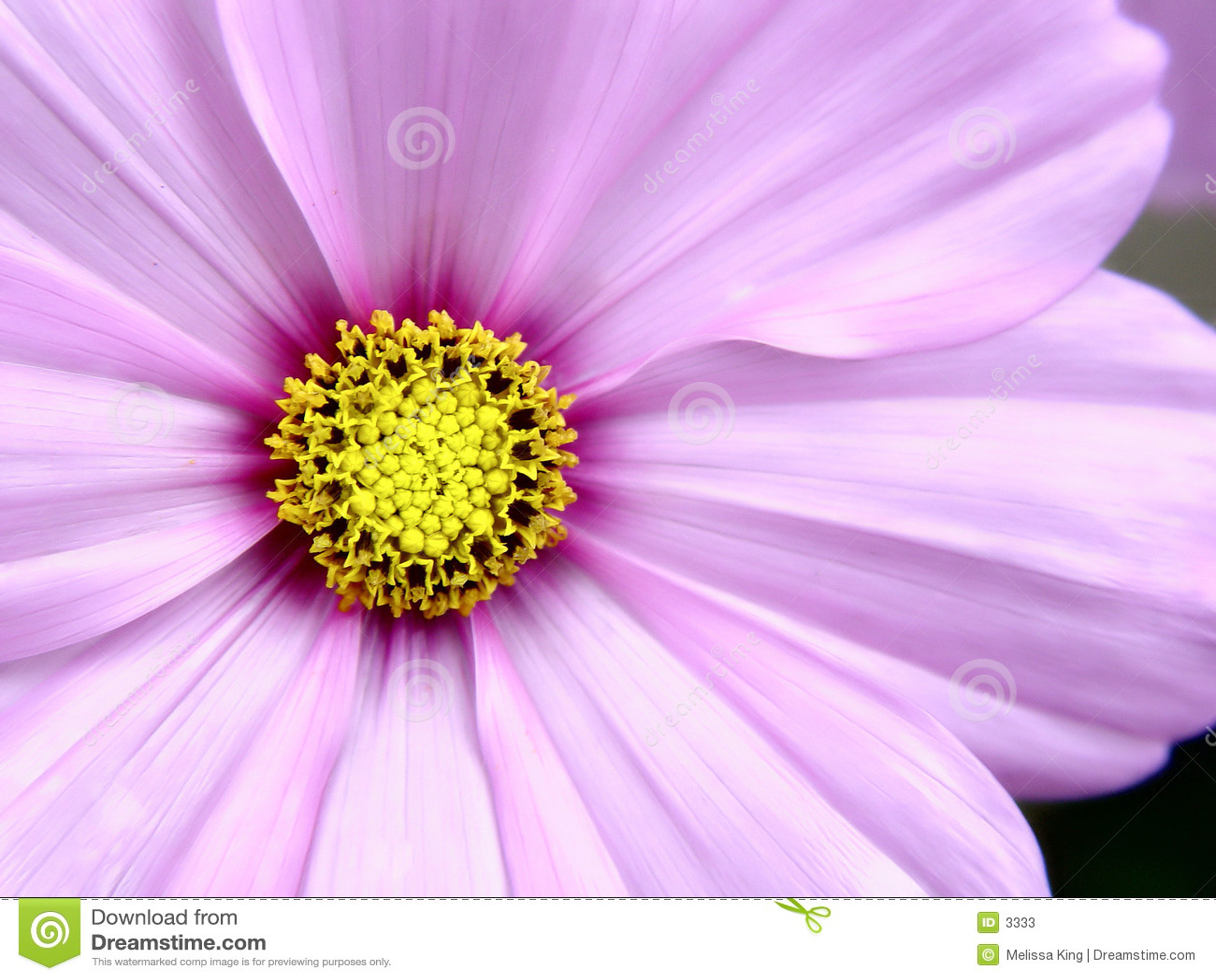 ροζ λουλουδιών cosmo