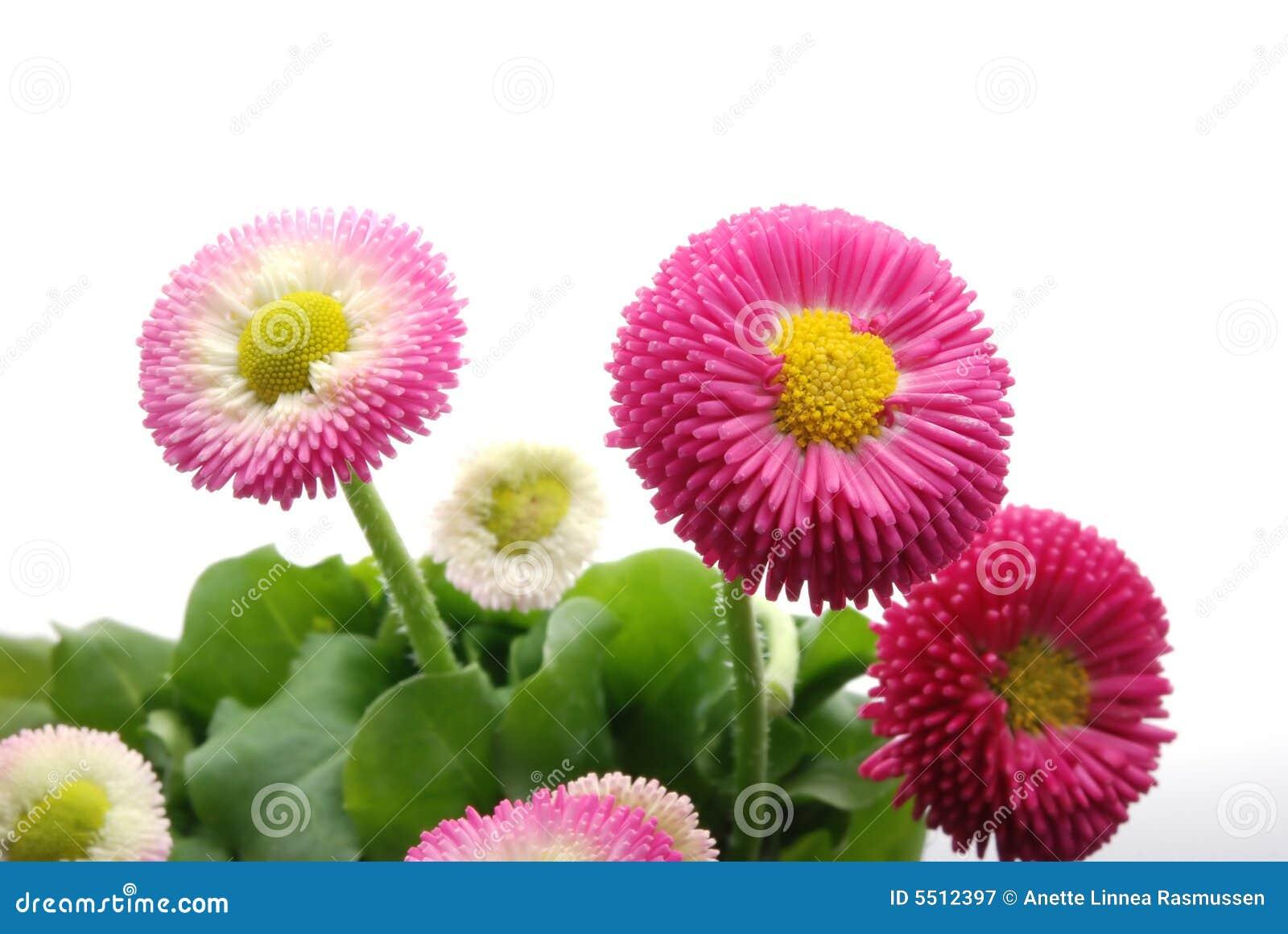 ροζ μαργαριτών