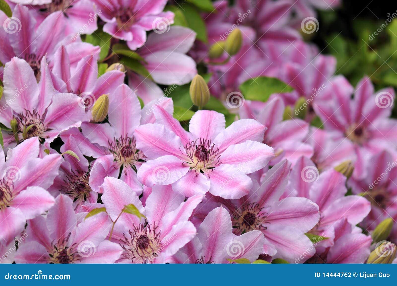 ροζ της Νέλλυ clematis moser