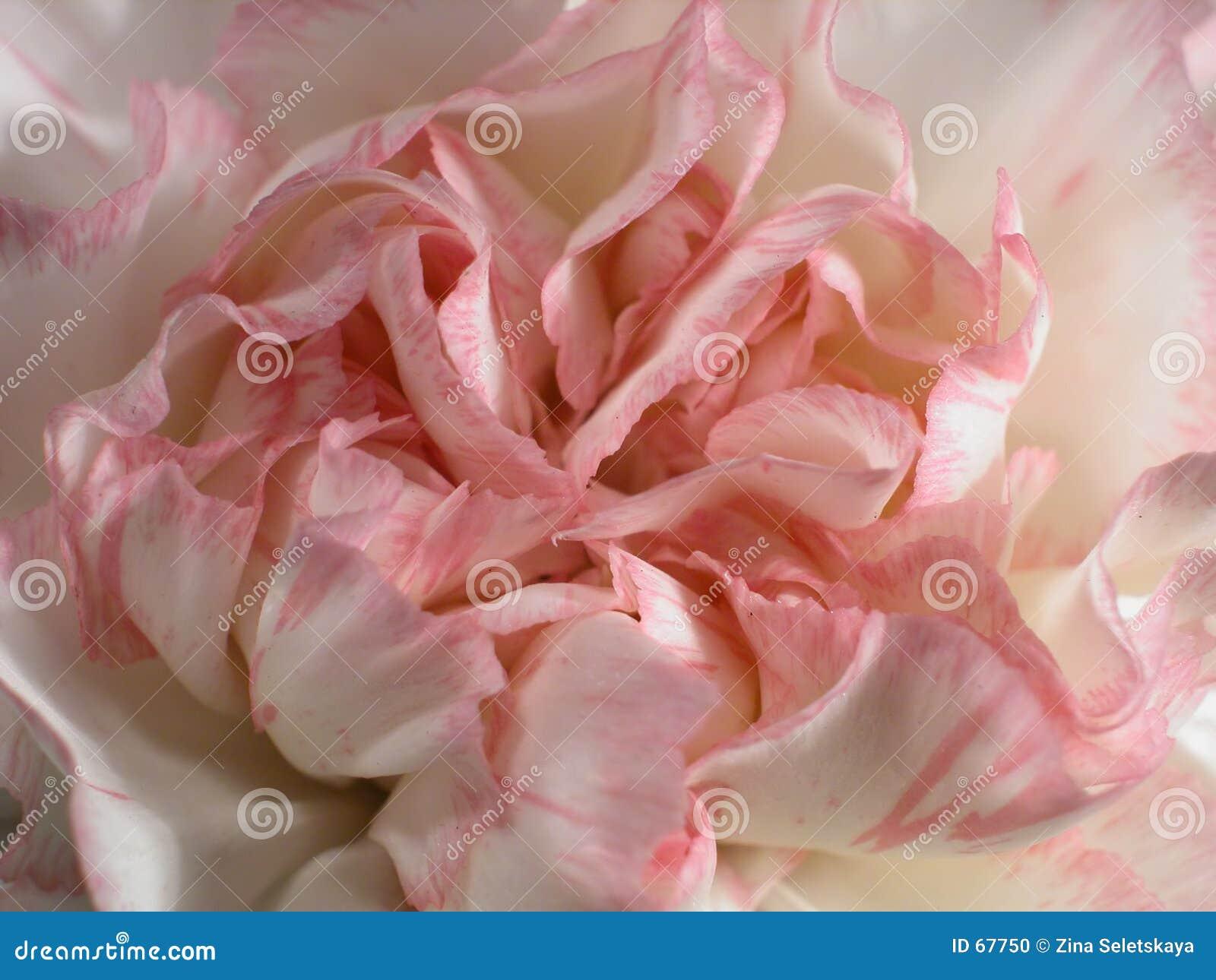 ροζ 3 γαρίφαλων