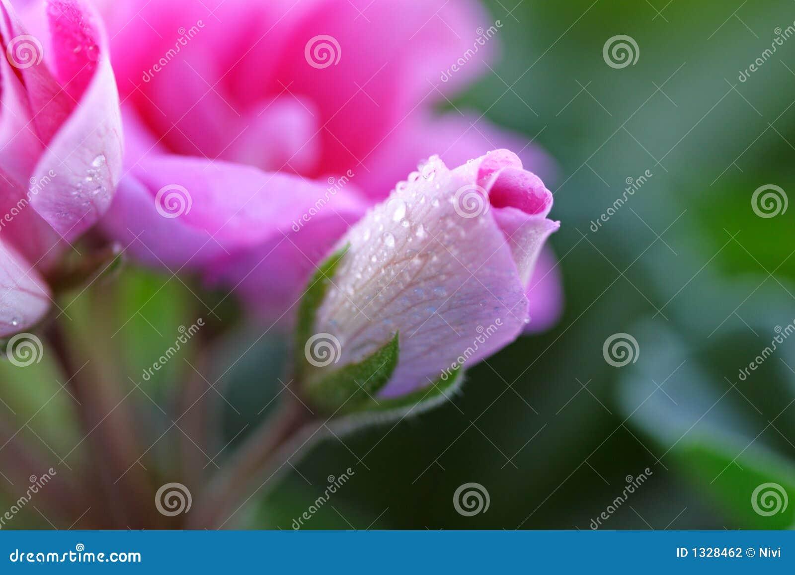 ροζ 3 λουλουδιών