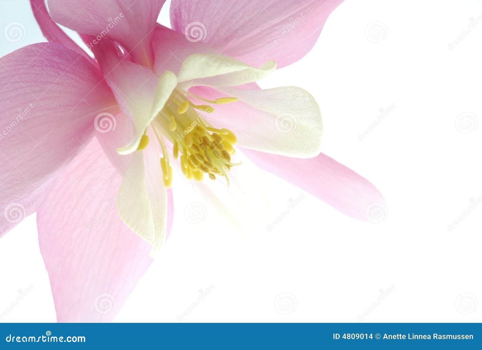 ροζ aquilegia