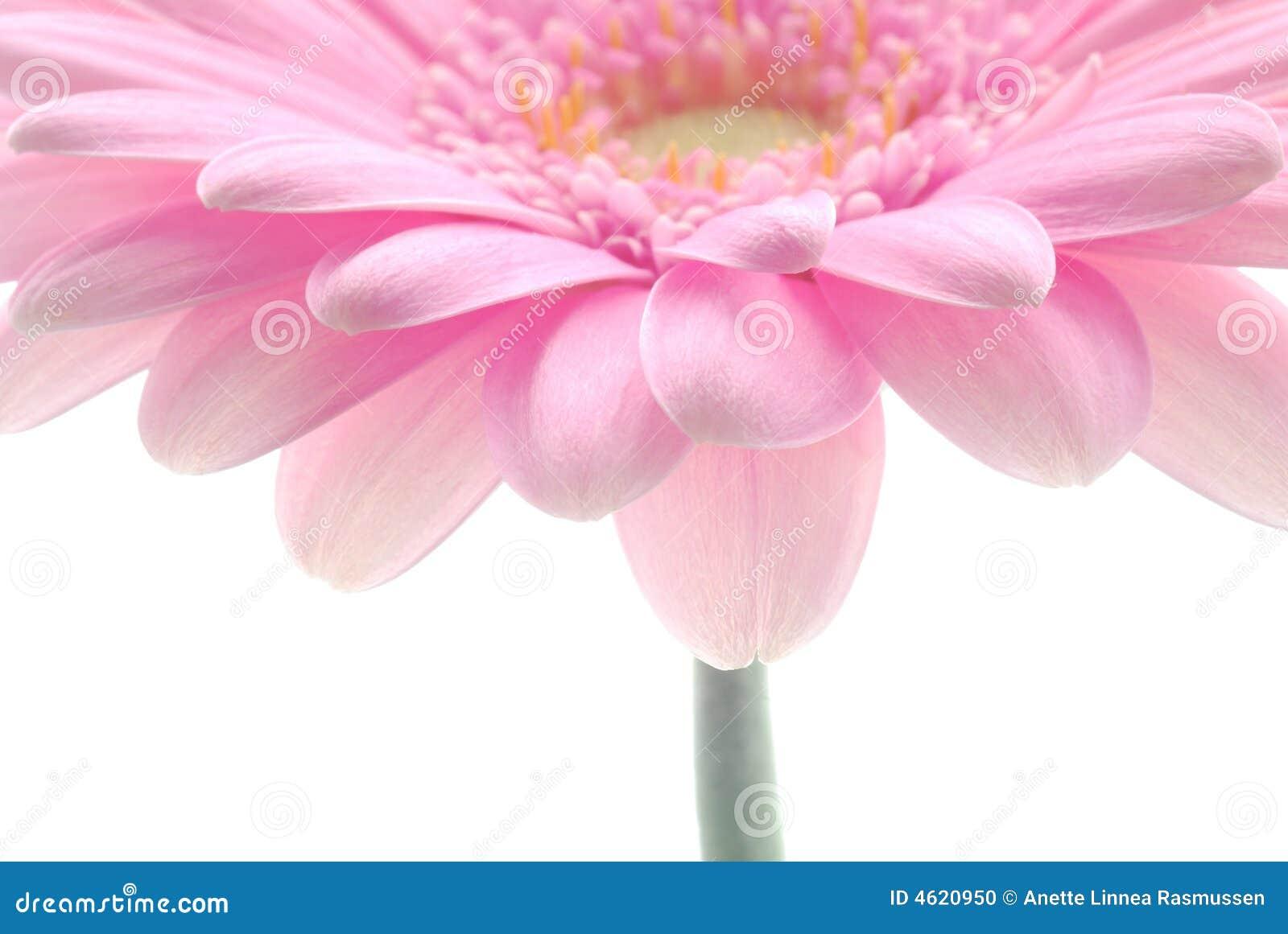 ροζ gerbera