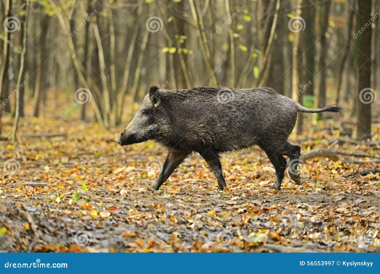 Download ρωσικές άγρια περιοχές Voronezh φύσης κάπρων περιοχής Στοκ Εικόνα - εικόνα από θέματα, παμφάγος: 56553997