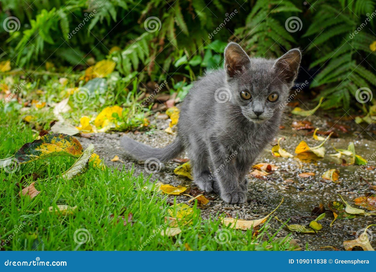 Ρωσική μπλε γάτα που περπατά μέσω ενός κήπου με τη χλόη, τα φύλλα και τις φτέρες
