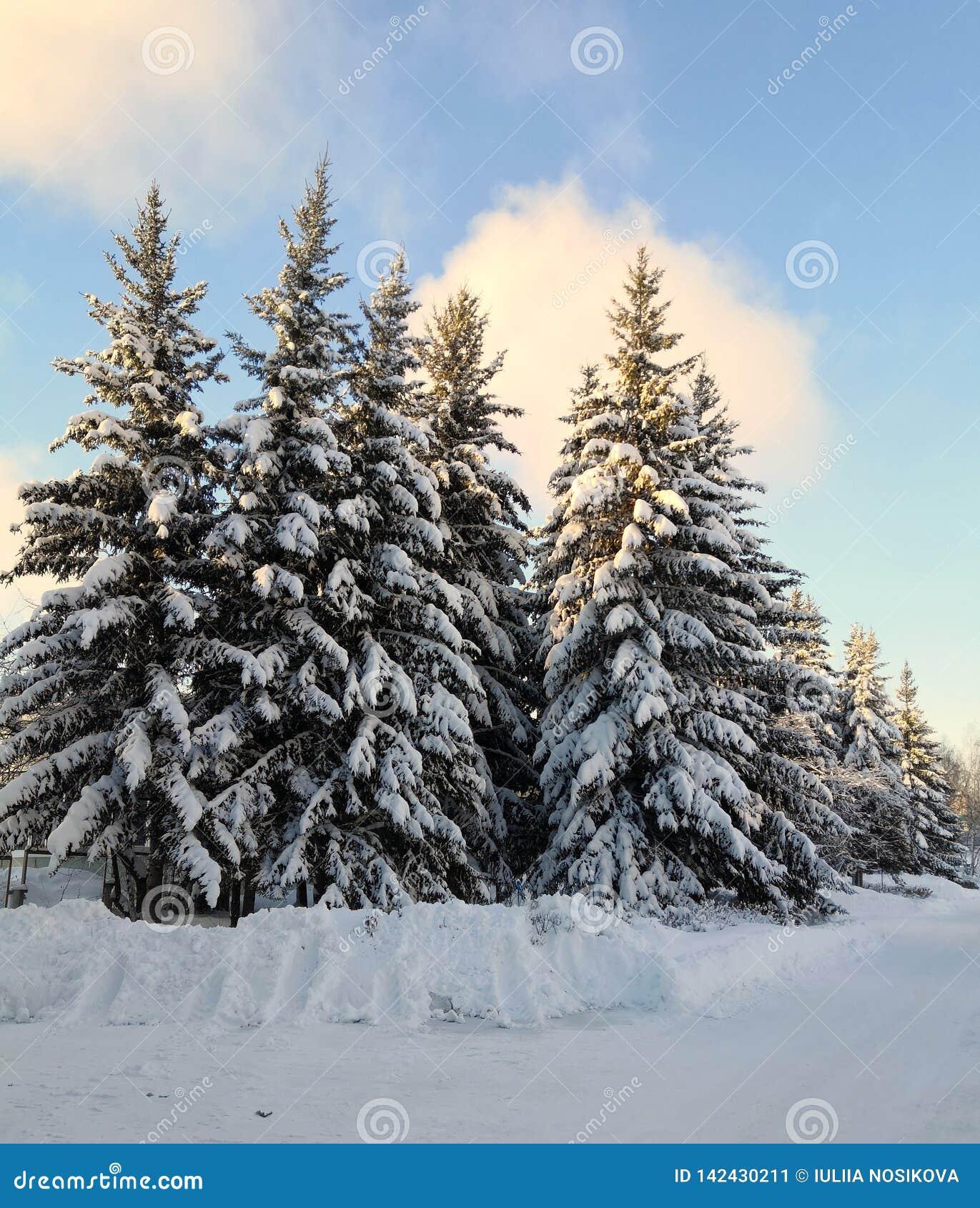 Ρωσικός χειμώνας - όμορφα δέντρα έλατου στο χιόνι