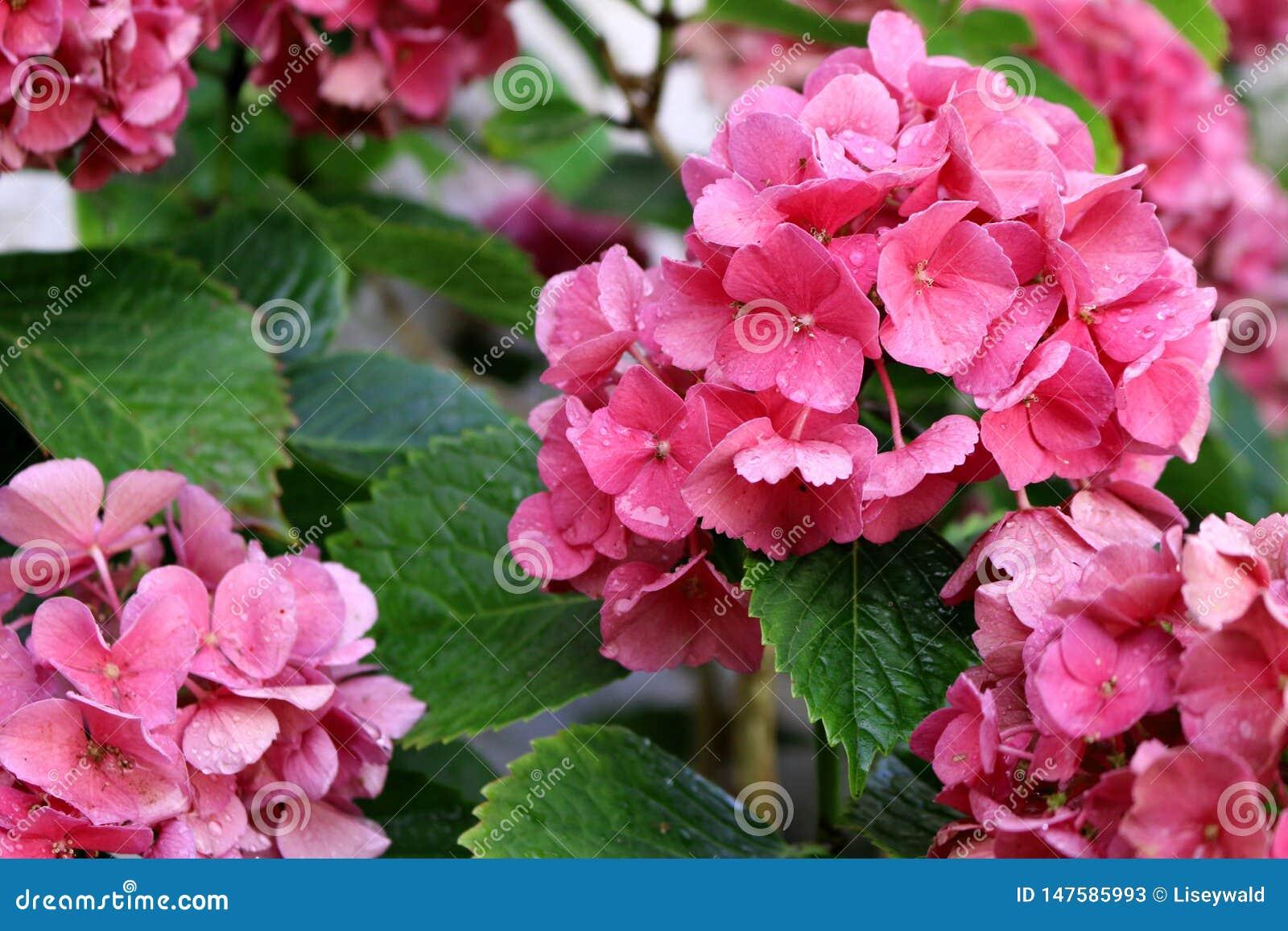 Ρόδινα άνθη hortensia με τις πτώσεις νερού και τα πράσινα φύλλα