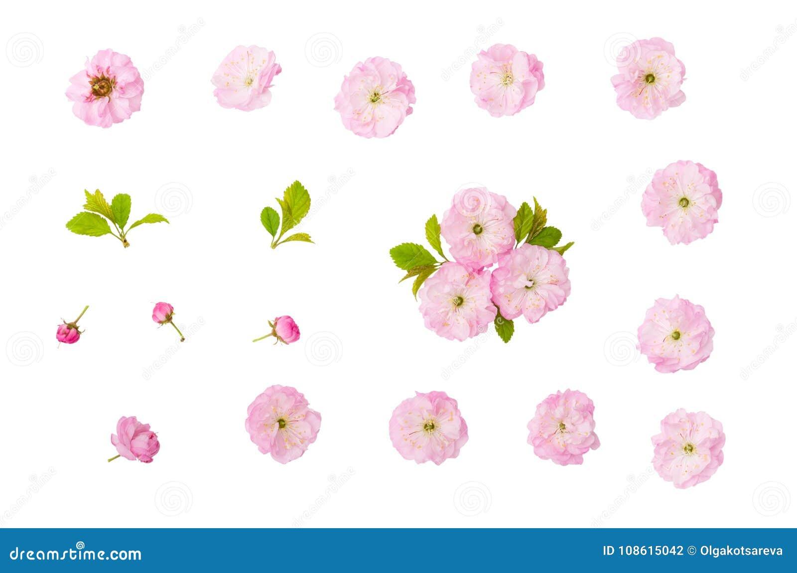 Ρόδινα λουλούδια αμυγδάλων, πράσινοι φύλλα και οφθαλμός που απομονώνονται στο άσπρο υπόβαθρο με το ψαλίδισμα της πορείας
