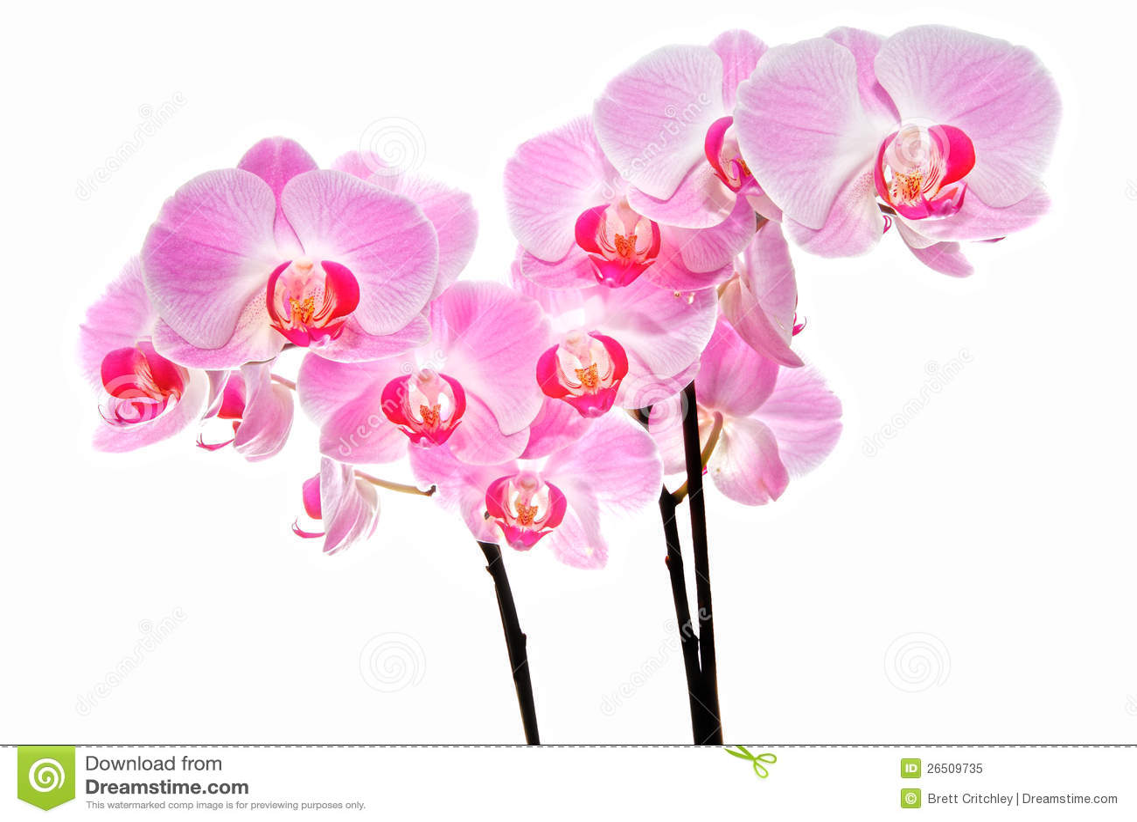 Ρόδινα orchid λουλούδια