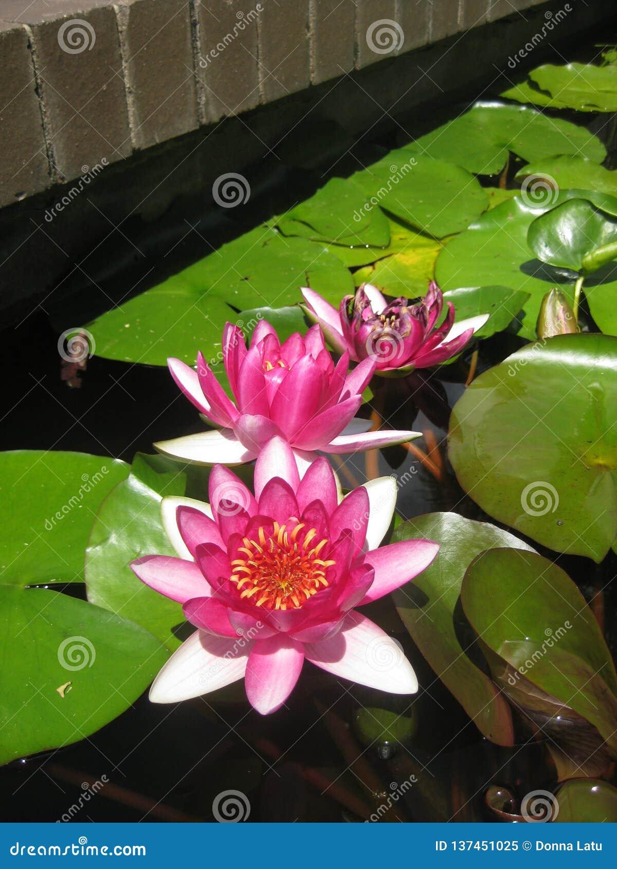 Ρόδινα waterlilies σε μια λίμνη με τα μαξιλάρια κρίνων