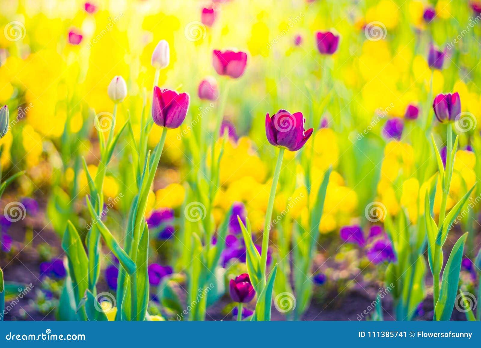 Ρόδινες τουλίπες, κινηματογράφηση σε πρώτο πλάνο λουλουδιών άνοιξη, θολωμένο υπόβαθρο και ζωηρόχρωμες λεπτομέρειες