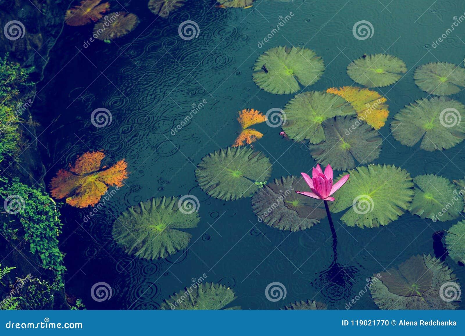 Ρόδινος ανθίζοντας κρίνος νερού με τα φύλλα κάτω από τη βροχή στη μικρή λίμνη