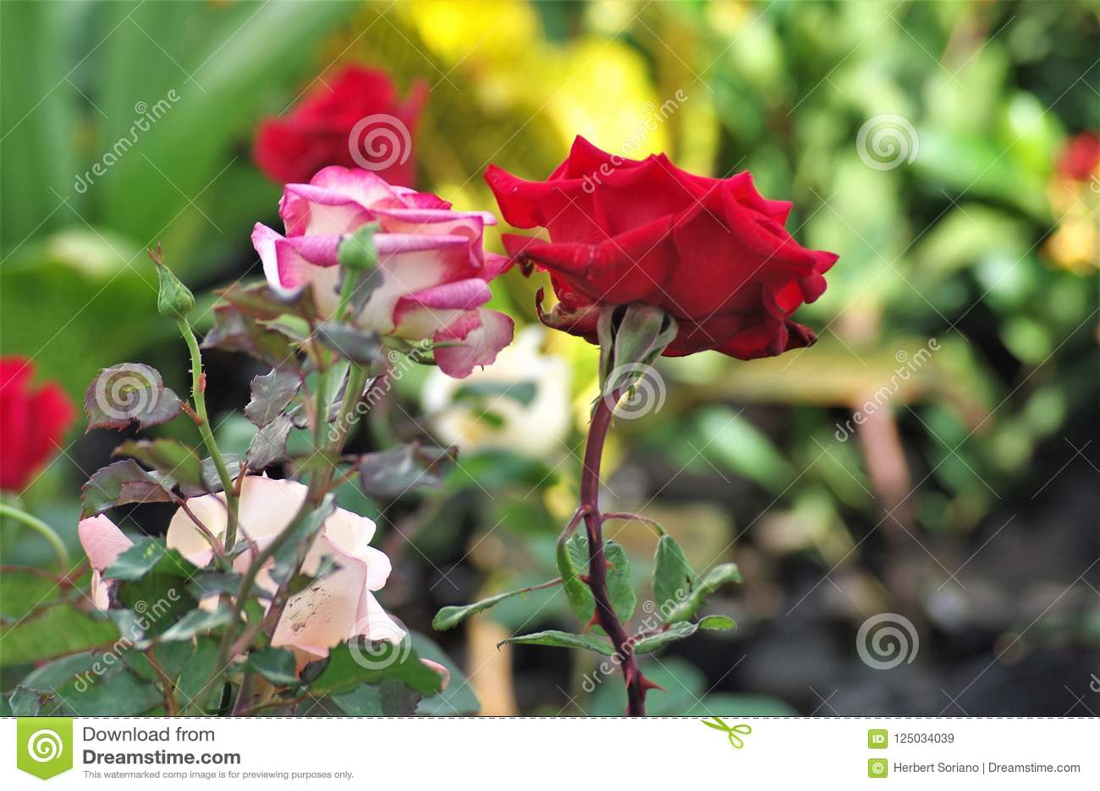 Ρόδινος εξωτικός αυξήθηκε κινηματογράφηση σε πρώτο πλάνο λουλουδιών σε ένα εθνικό salado Λα Ceiba Cuero Υ πάρκων της Ονδούρας