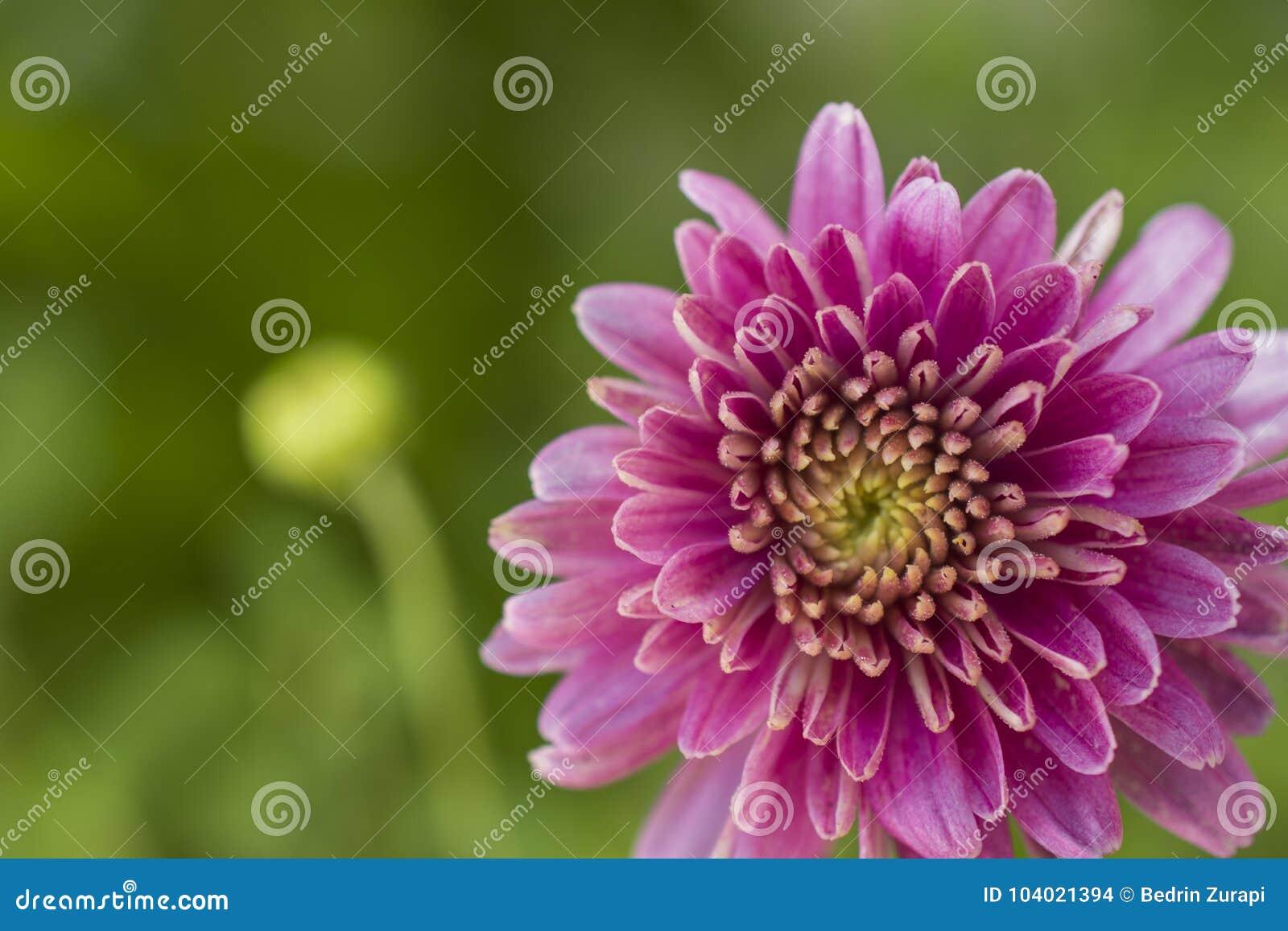 Ρόδινος μακρο βλασταημένος στενός επάνω λουλουδιών