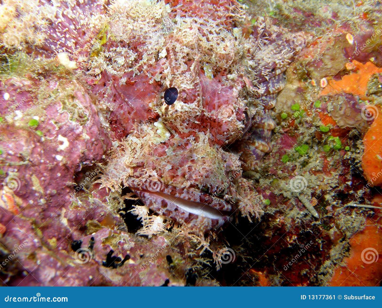 ρόδινος σκορπιός των Φίτζι