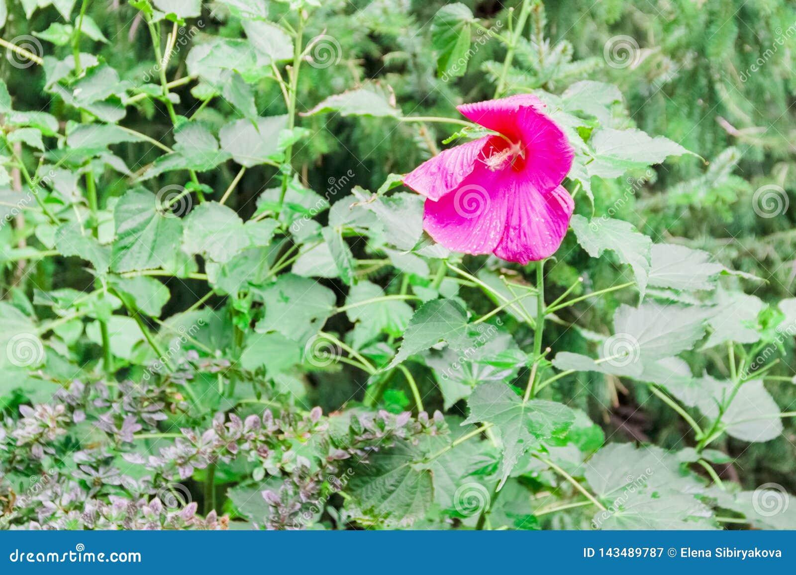 ρόδινο ή κόκκινο Hibiscus sinensis Rosa στο πράσινο υπόβαθρο φύλλων