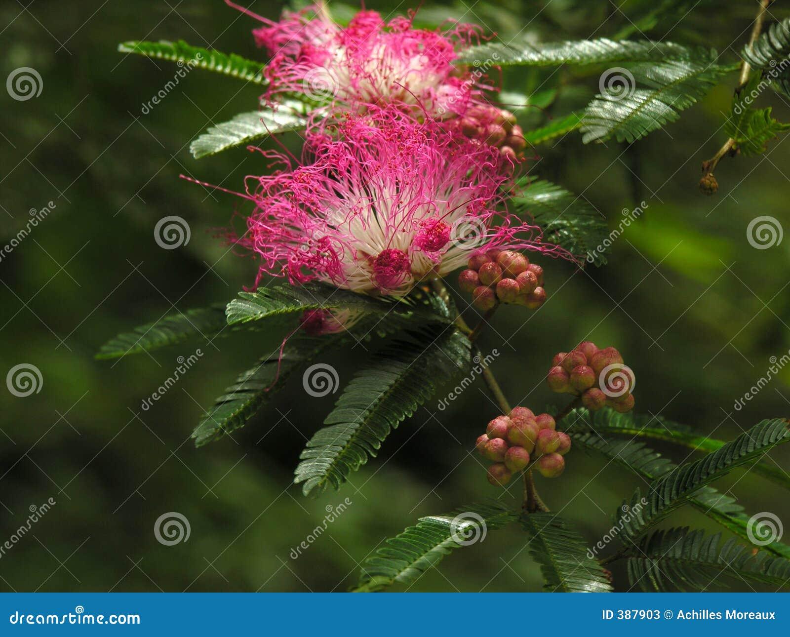 ρόδινο δέντρο ανθίσεων