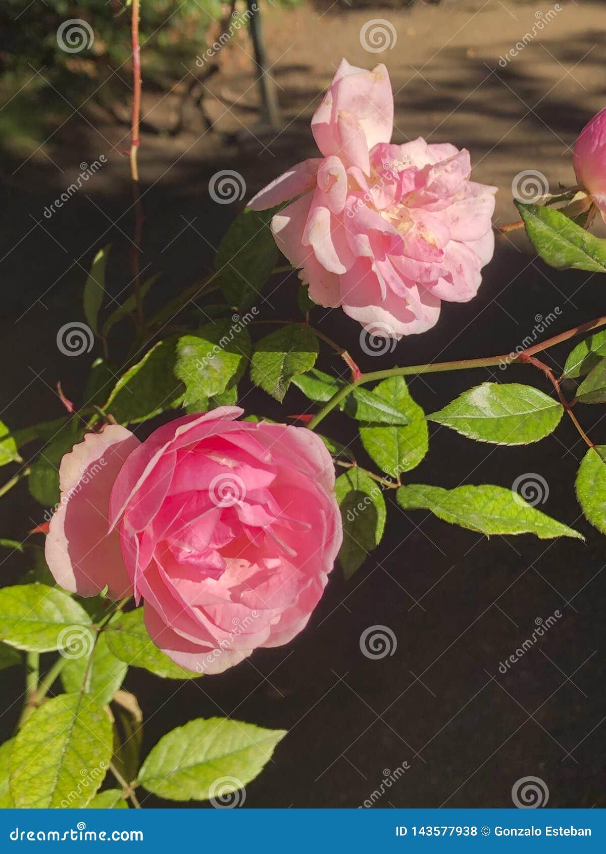 Ρόδινο ζωηρόχρωμο πορτρέτο τριαντάφυλλων