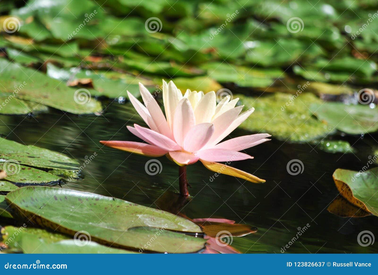 Ρόδινο και κίτρινο λουλούδι κρίνων