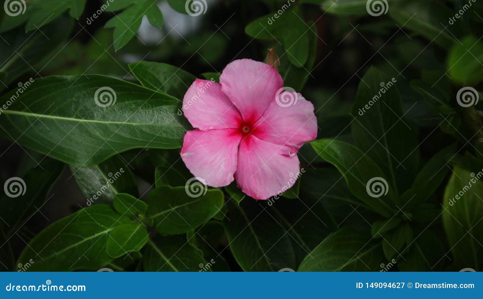 Ρόδινο λουλούδι, μακρύ πράσινο φύλλο