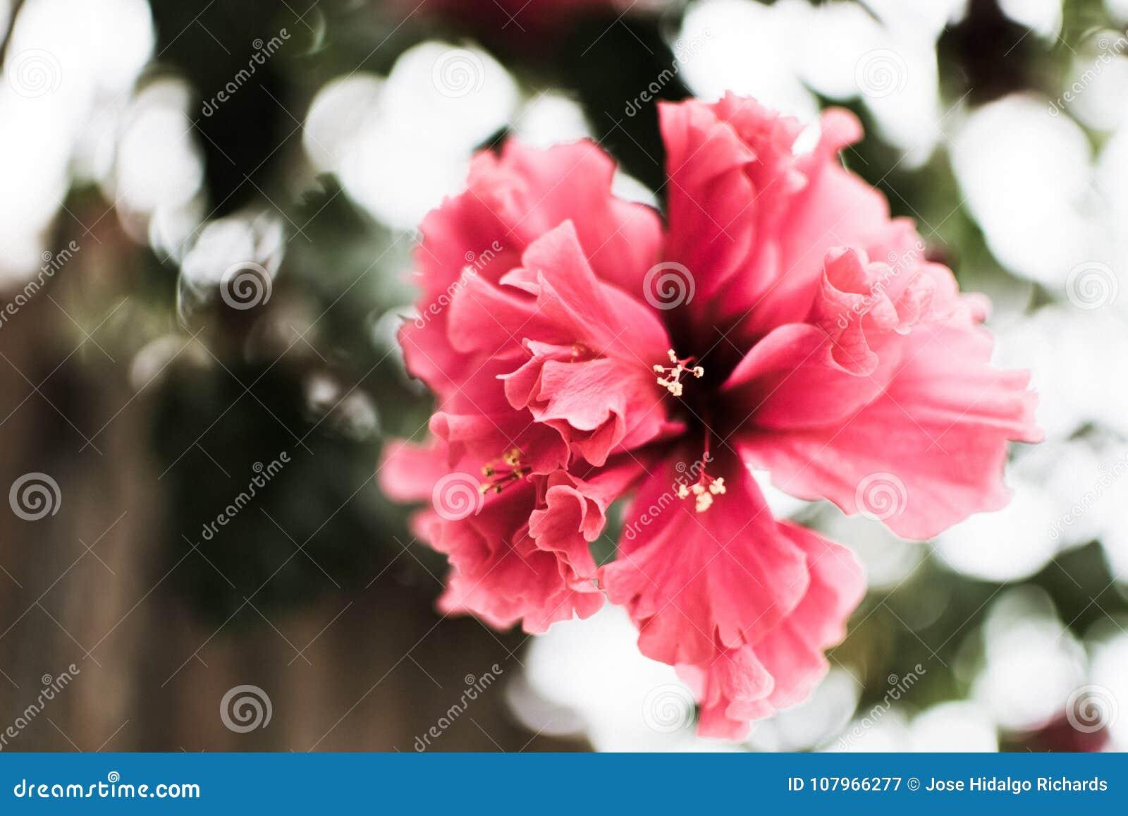 ρόδινο λουλούδι που κρεμά μόνο