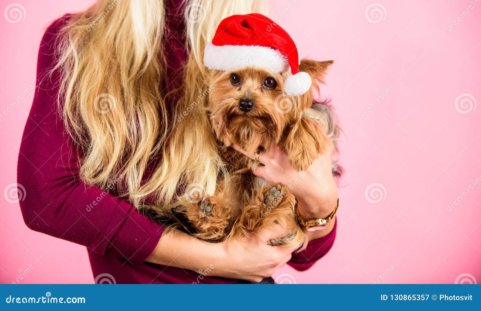 Ρόδινο υπόβαθρο κατοικίδιων ζώων σκυλιών λαβής κοριτσιών ελκυστικό ξανθό Γυναίκα και καπέλο santa ένδυσης τεριέ του Γιορκσάιρ Γιο
