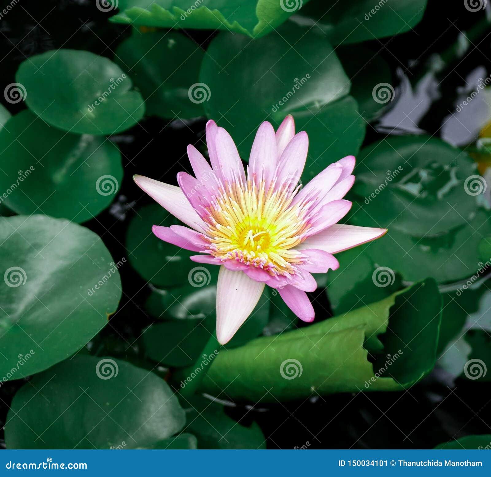 Ρόδινο Lotus μια βροχερή ημέρα