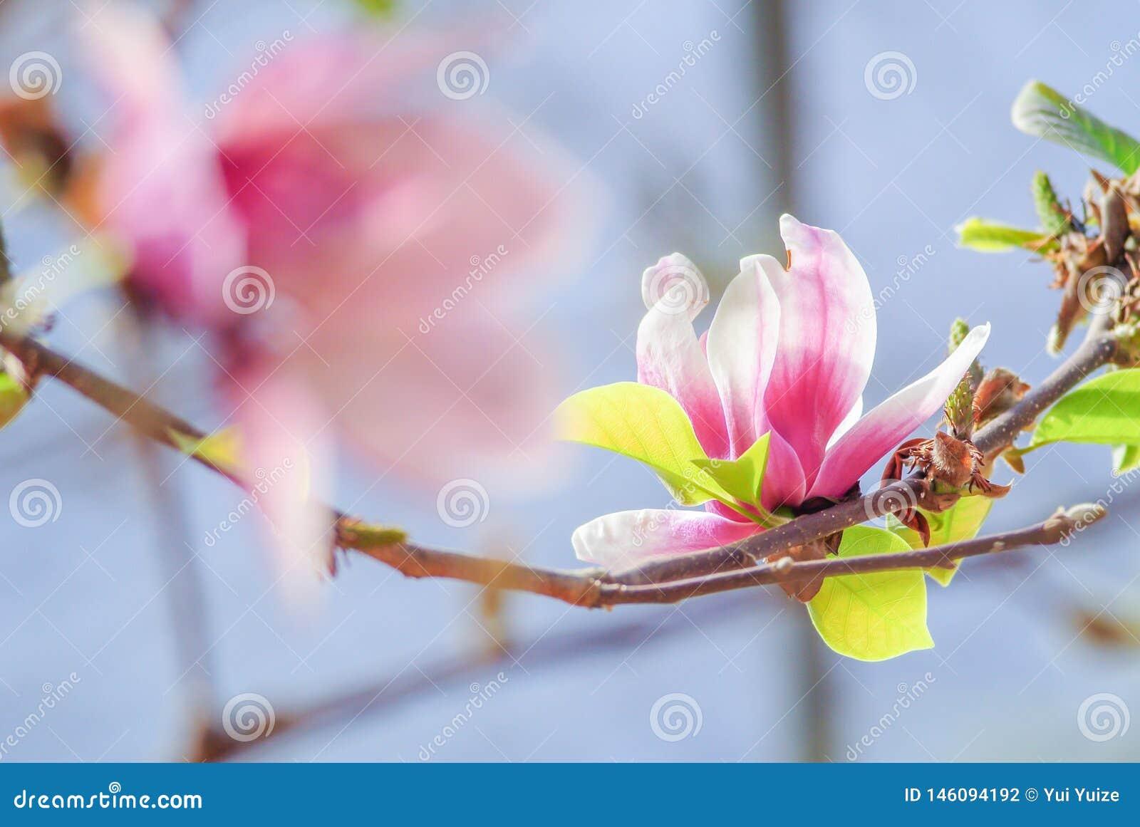 Ρόδινο magnolia στη φύση