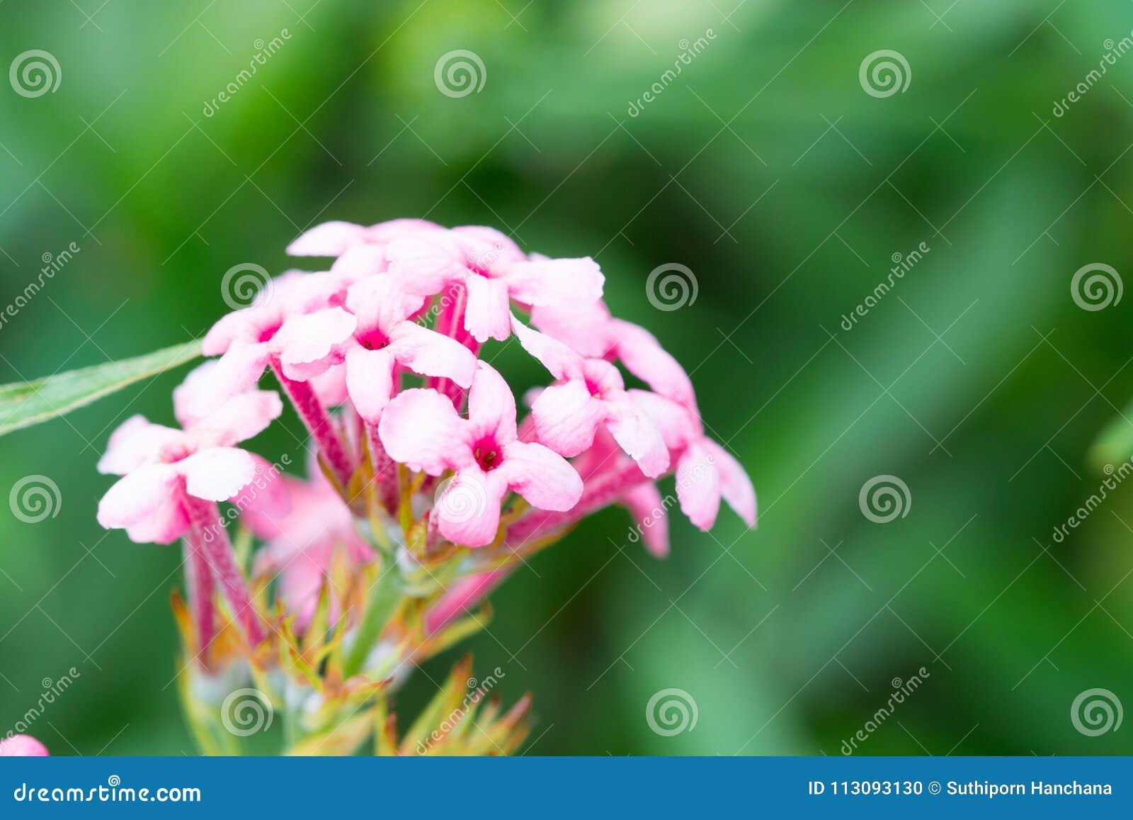 Ρόδινο Verbena, λουλούδι αποσαφήνισης απομονώνει την άνοιξη το καλοκαίρι