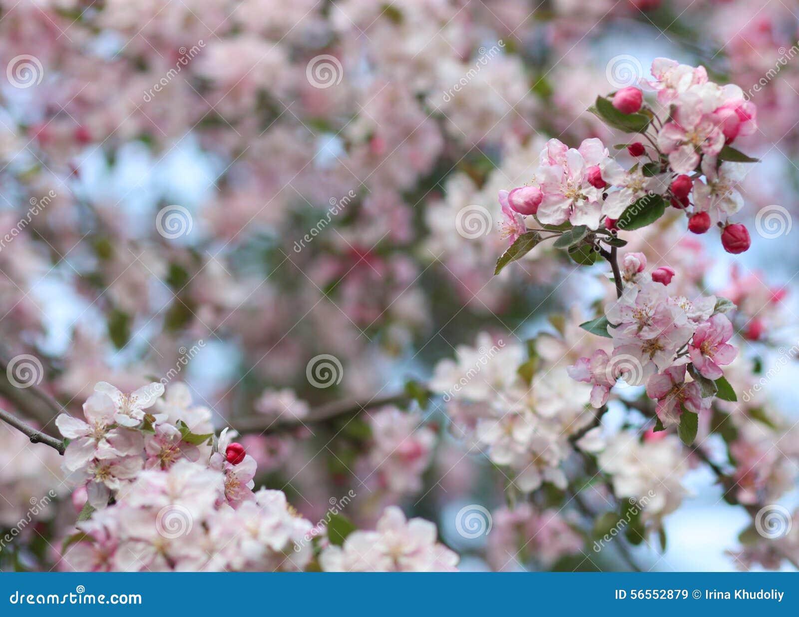 Download Ρόδινα λουλούδια δέντρων μηλιάς Στοκ Εικόνα - εικόνα από λουλούδι, οπωρώνας: 56552879