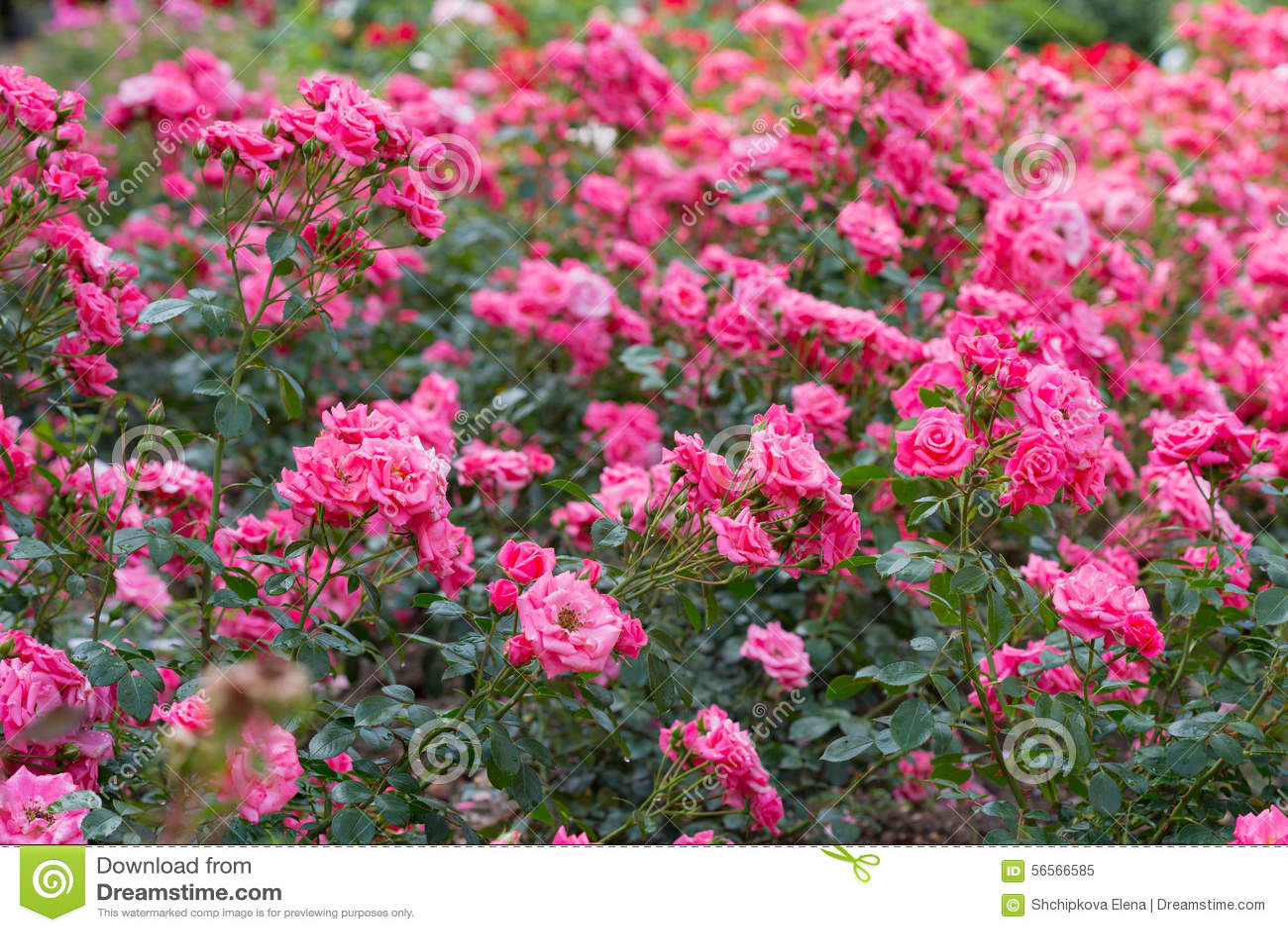 Download ρόδινα τριαντάφυλλα στοκ εικόνα. εικόνα από φως, δέσμη - 56566585