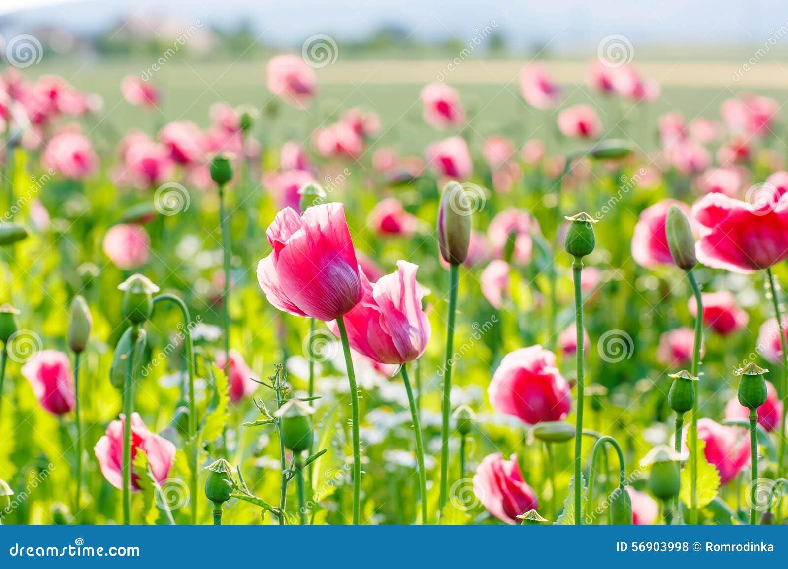 Ρόδινη ανθίζοντας παπαρούνα, τεράστιος τομέας των ανθίζοντας λουλουδιών