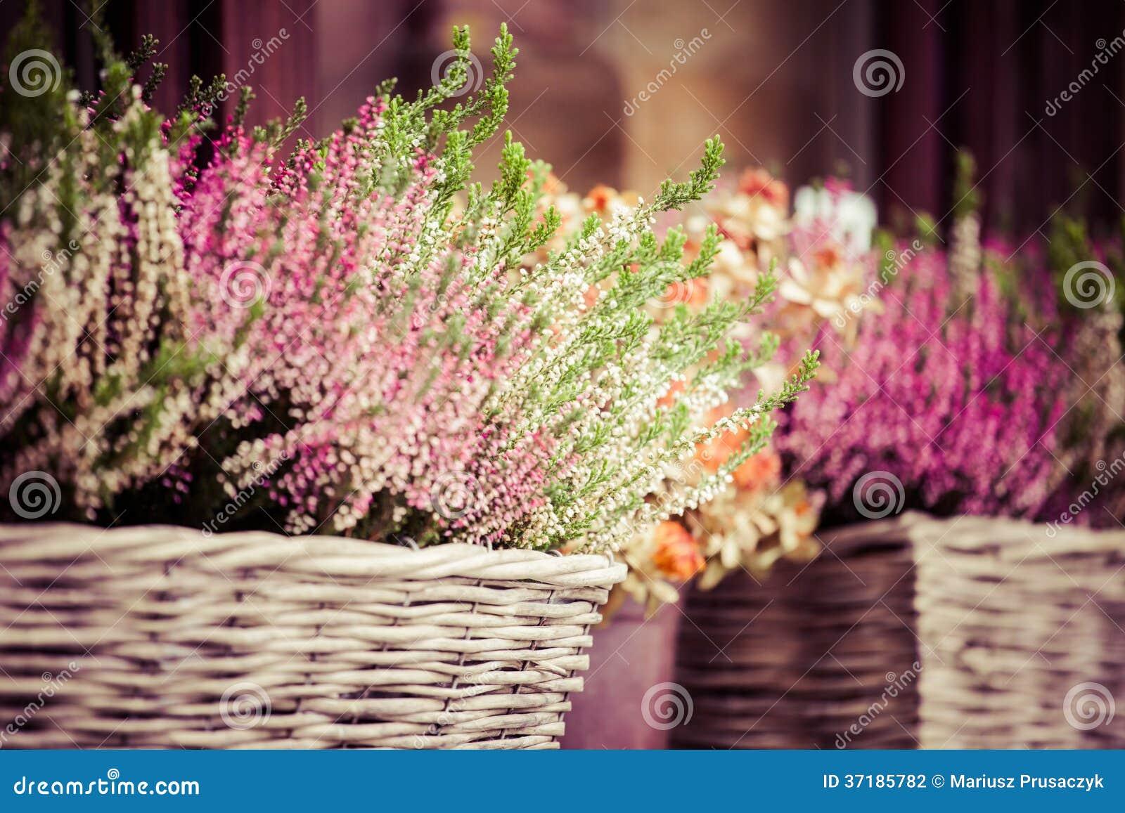 Ρόδινη και πορφυρή ερείκη στο διακοσμητικό δοχείο λουλουδιών