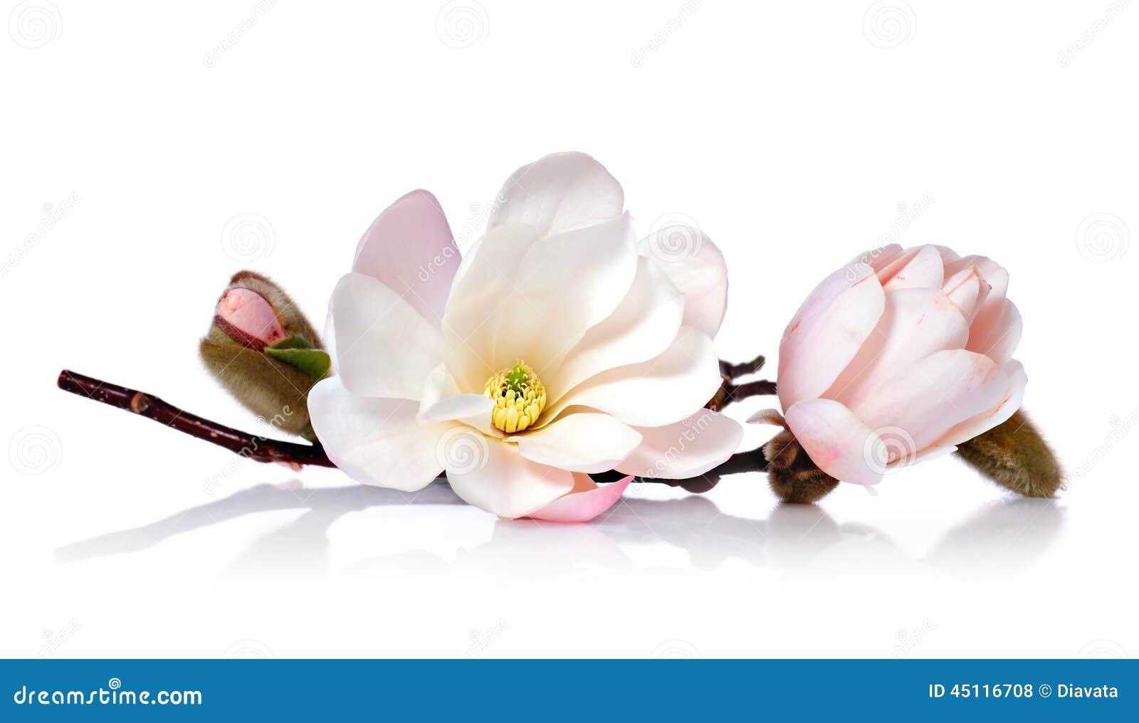 Ρόδινο ανθισμένο λουλούδι magnolia