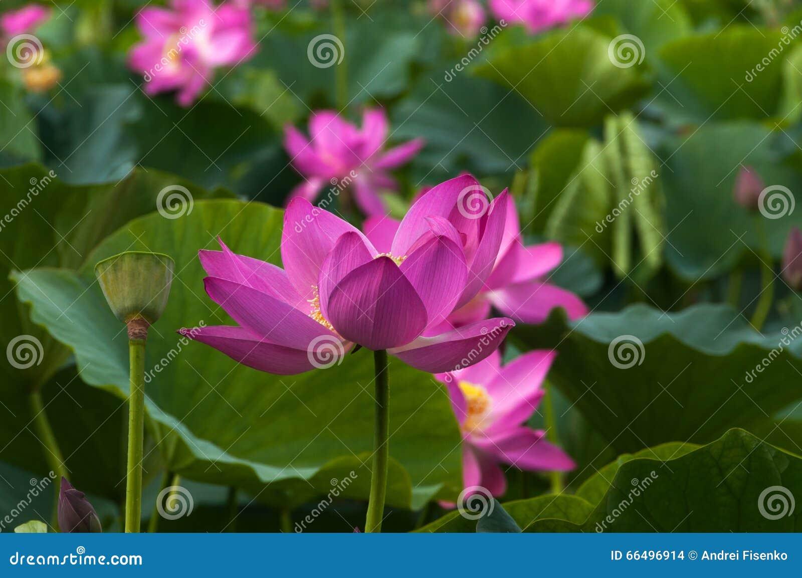 Ρόδινο λουλούδι λωτού, κινηματογράφηση σε πρώτο πλάνο