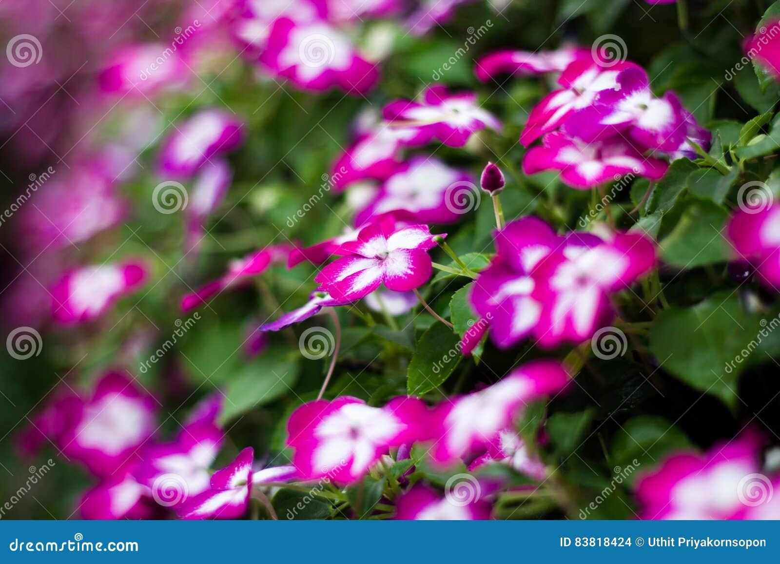 Ρόδινο λουλούδι