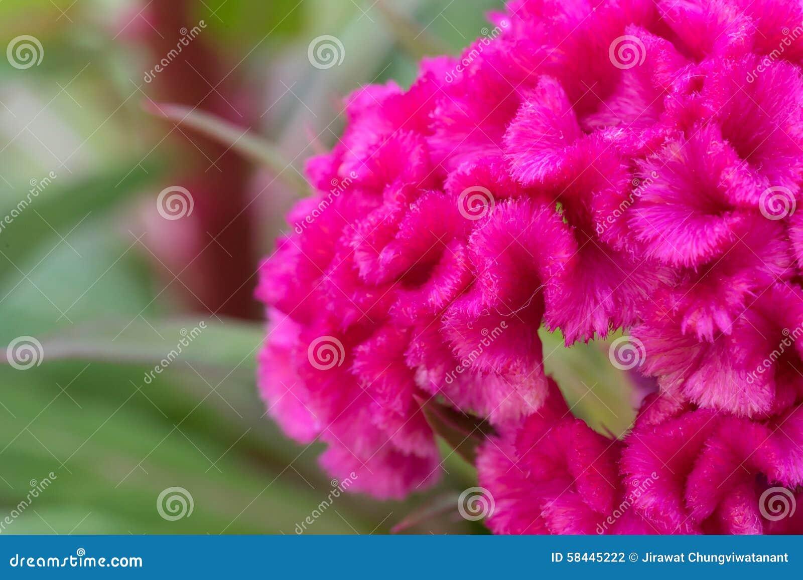 Ρόδινο λουλούδι cockscomb