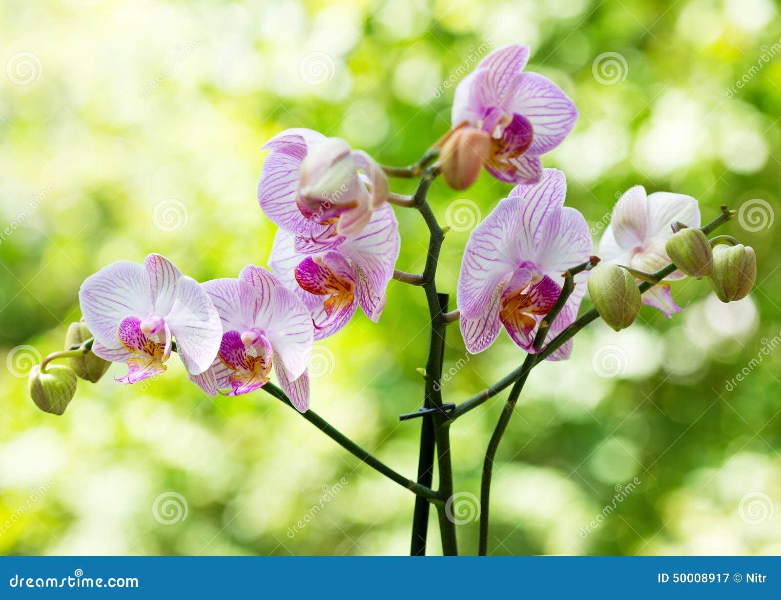 Ρόδινο Orchid